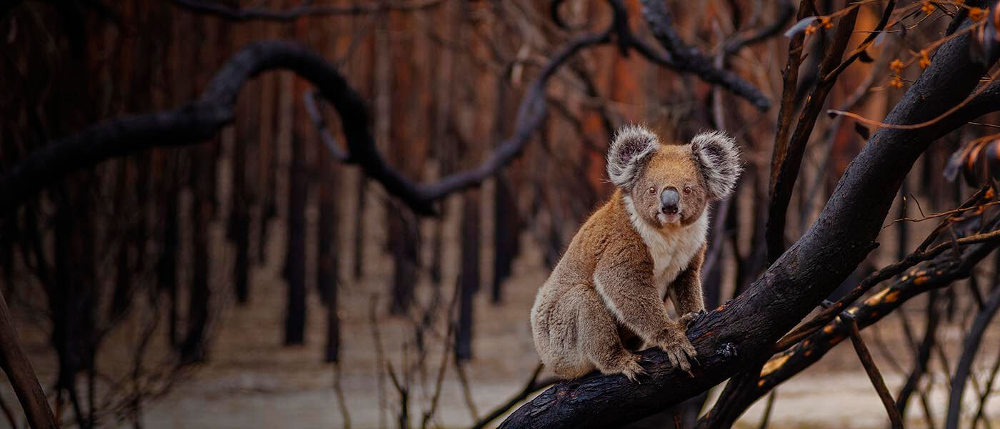 Humphrey Homes sponsoring a koala with WWF