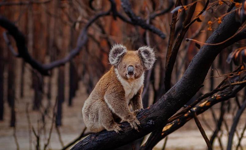 Koala adoption - image from WWF